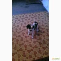 Продам щенков русского спаниеля
