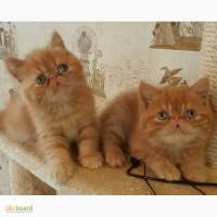 Экзотические породистые котята