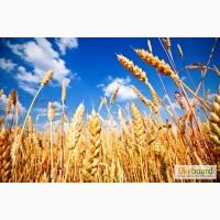 Куплю пшеницу, ячмень, кукурузу, овес по Луганской области