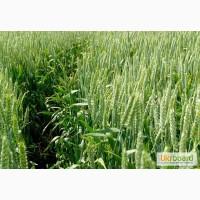 Канадские семена пшеници Тэсла, Омаха, Тазос, Арвада - 1реп. (двуручки)