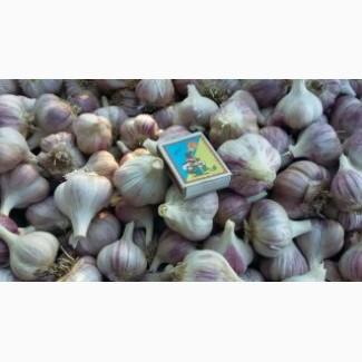 Продам чеснок сорт Любаша 1-й репродукции