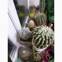 Продам кактусы