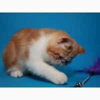 Красивый Мраморный (красный) котёнок-котик экзотик
