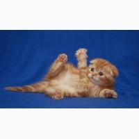 Шотландский котенок. Домашний питомник. Котята