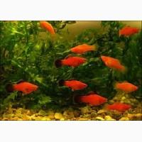 Продам аквариумных рыбок, меченосцы