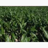 ПЛЕВЕН ФАО 270 семена кукурузы