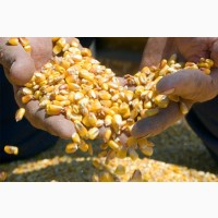 Corn yellow FOB Black sea
