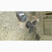 Продам голубей- павлинов