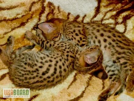 Фото 1/5. Serval и Саванна котята Доступные