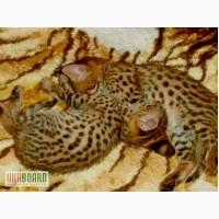 Serval и Саванна котята Доступные