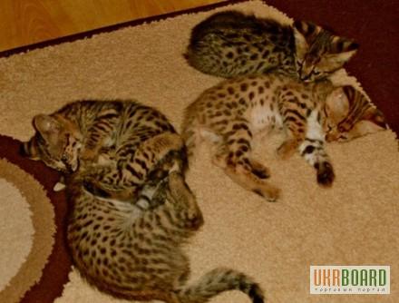 Фото 2/5. Serval и Саванна котята Доступные