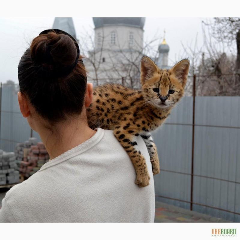 Фото 3/5. Serval и Саванна котята Доступные