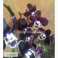 Черная орхидея Блек Джек