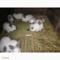 Продам кролей новозеландец калифорниец бургундец и Потавское серебро