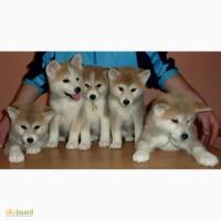 Замечательные щенки акита ину