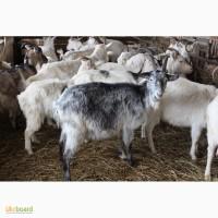 Закупаем дойных коз любой породы