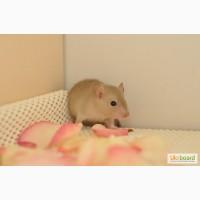Купить ручных декоративных крыс / крысят в Украине