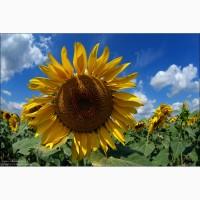 Насіннєва компанія «ГРАН» пропонує придбати Насіння соняшнику Карлос 105