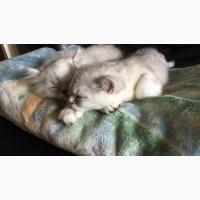 Персидские котята для принятия