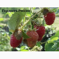Саженцы крупноплодной, малины Гордость России