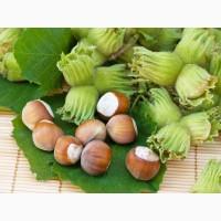 Саженцы фундука(лещины)