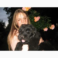 Высокопородные щенки Русского Черного Тероера