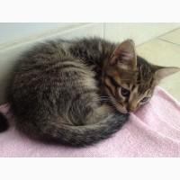 Котёнок Дворянской порды