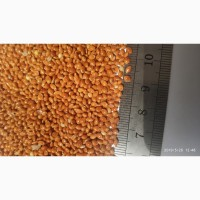 Семена просо красное Полтавское золотистое. 1 репродукция