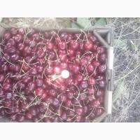 Черешня крупноплодная 50 коп.+ (Каховка)