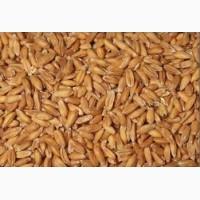 Пшеница цельная в Харькове. Корм с/х птицам и животным