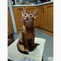 Абиссинские мальчики котята
