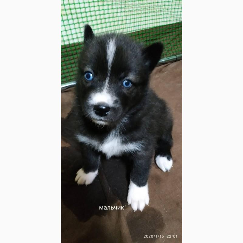 Фото 1/1. Продам чистокровного щенка (мальчик)сибирского хаски чёрно-белый с голубыми глазами