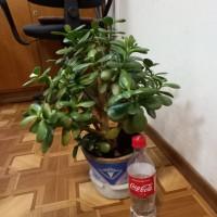 Крассула, денежное дерево. Два экземпляра