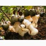 Мицелий (грибница, рассада, семена) веселки обыкновенной