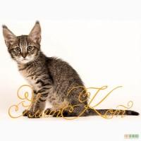 Продаются котята породы Чаузи