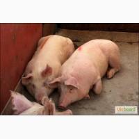 Продам свиней 3х пародный гибрит