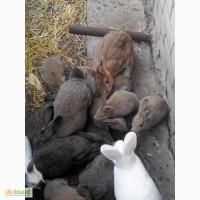 Продаю здоровых кролей