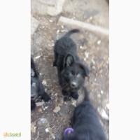 Продам щенков немецкой овчарки (черные)