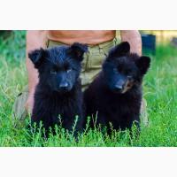 Продаются щенки ЧЕРНАЯ немецкая овчарка