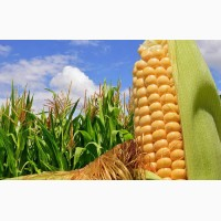 Насіння кукурудзи гібрид Гран 6 (ФАО 300)