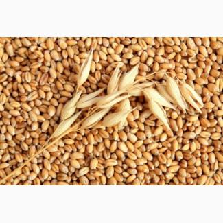 Терміново куплю пшеницю продовольчу по Львівській області
