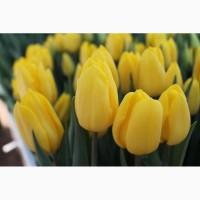 Луковицы тюльпаном для выгонки на 8 марта