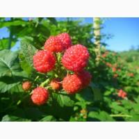 Продается малина в Харькове. Малина не течет, крупная, сладкая, ОПТ