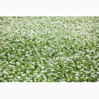 Продам насіння трав і сидератів