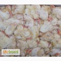 Кормові курчата, добові заморожені курчата на корм