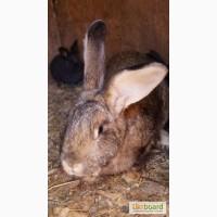 Кролик серый великан для размножения