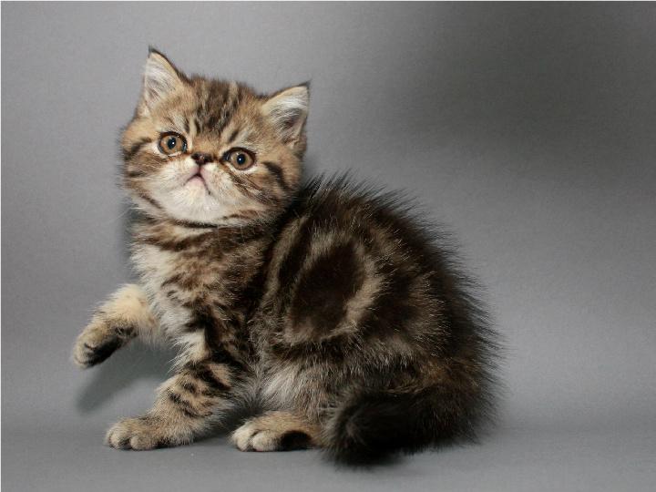 Котёнок экзотический короткошерстный в окрасе чёрный мраморный
