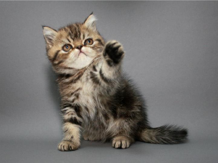 Фото 2. Котёнок экзотический короткошерстный в окрасе чёрный мраморный