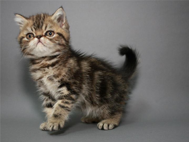 Фото 3. Котёнок экзотический короткошерстный в окрасе чёрный мраморный