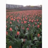 Продам недорого луковицы тюльпана сорт Форготтен дримс на выгонку